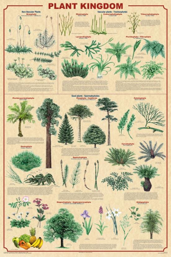THE PLANT KINGDOM